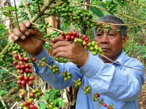 Kaffee Bauer beim Pflücken von Kaffeekirschen, Lampocoy Guatemala